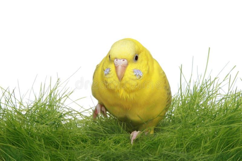 Amarele o budgerigar fotografia de stock