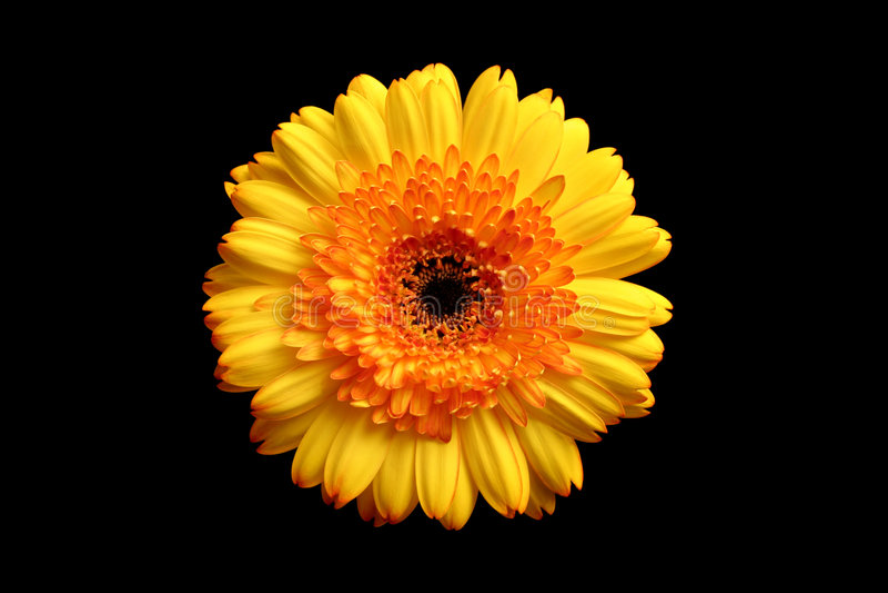 Amarele o gerbera alaranjado sobre o preto foto de stock royalty free