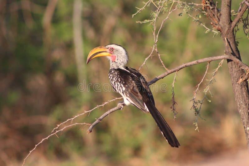 Amarele o Hornbill faturado foto de stock