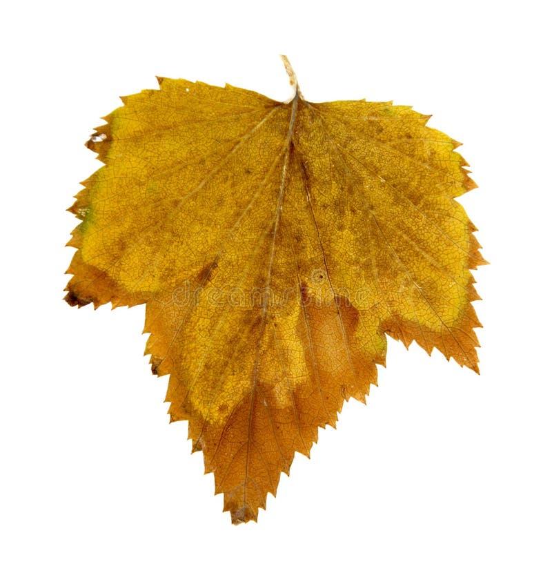 Amarelo brilhante pressionado seco do corinto, alaranjado, marrom, folha pressionada, fotografia de stock
