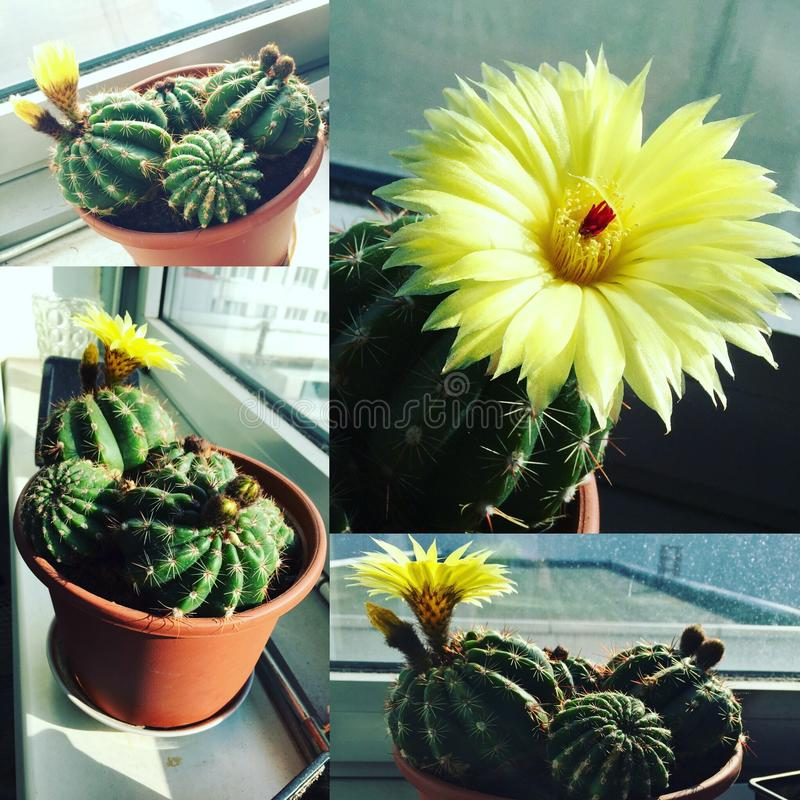 amarelo da colagem da planta das flores do cacto foto de stock