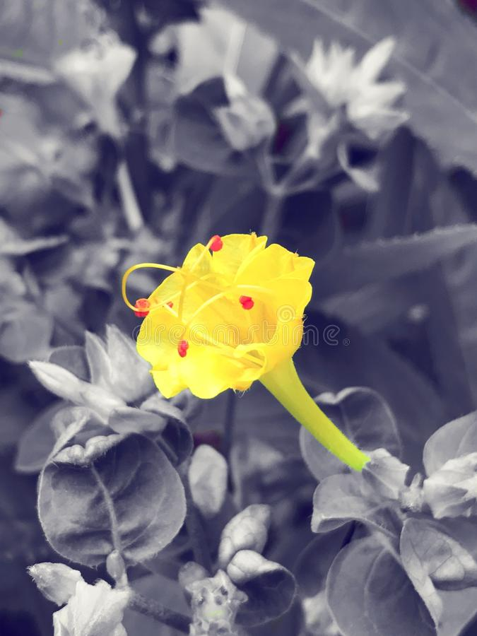 Amarelo da flor do amarilla de Flor fotos de stock