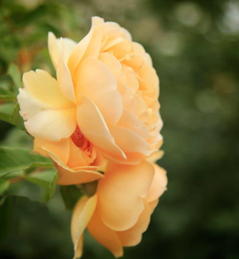 Amarelo das rosas imagem de stock