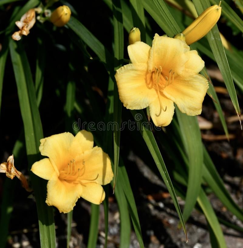 Amarelo daylily imagem de stock royalty free