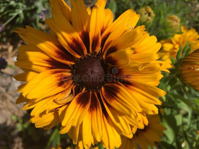 Amarelo de florescência da flor imagens de stock royalty free