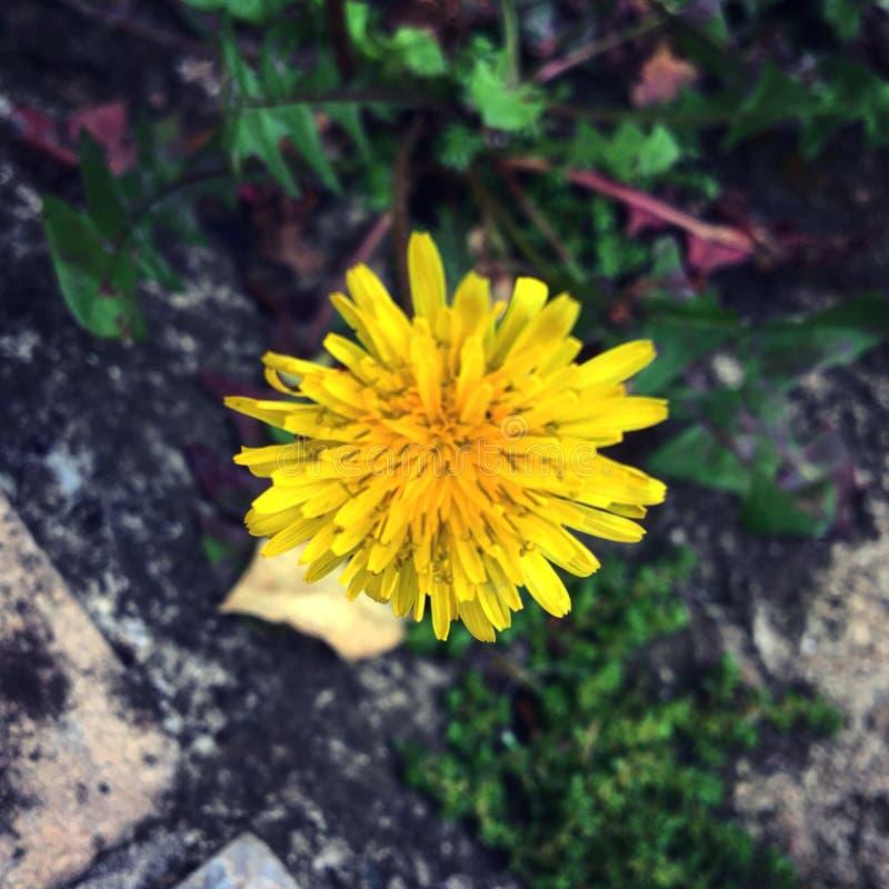 Amarelo de Litlle imagem de stock royalty free