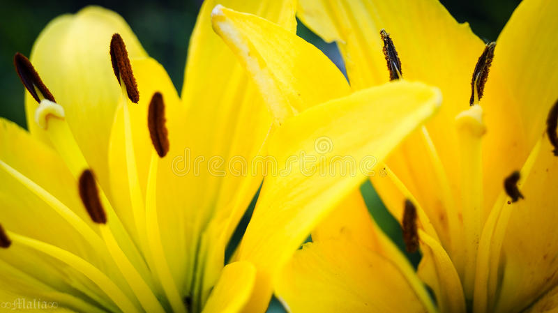 Amarelo do hemerocallis foto de stock