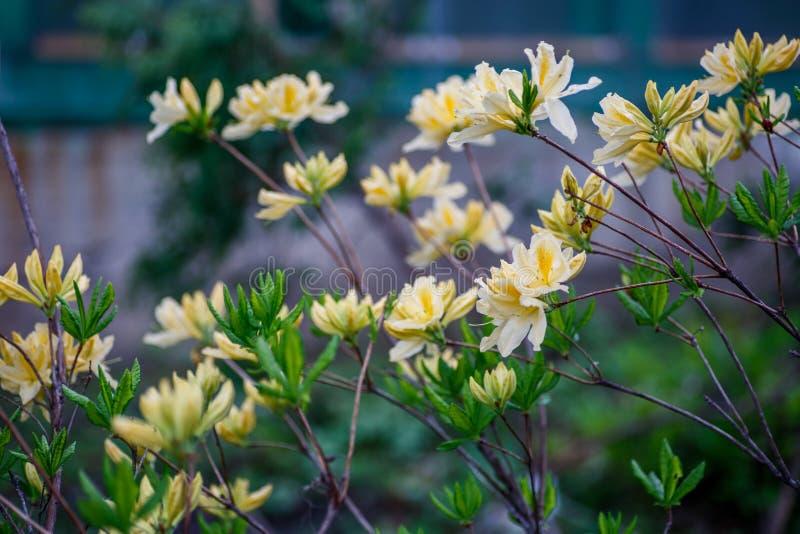 Amarelo do rododendro, Vladivostok foto de stock royalty free