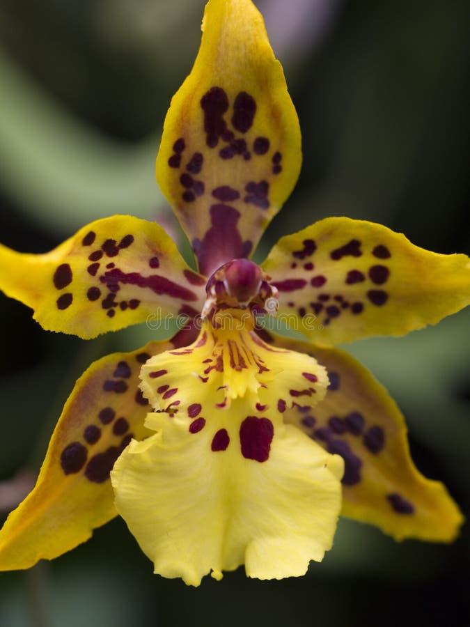Amarelo e vermelho manchou o fim do macro da orquídea acima foto de stock royalty free