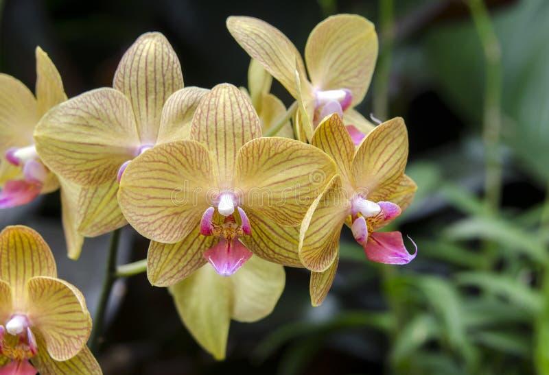 Amarelo e Violet Orchid Flower na estufa do conservatório da propriedade de Biltmore fotos de stock