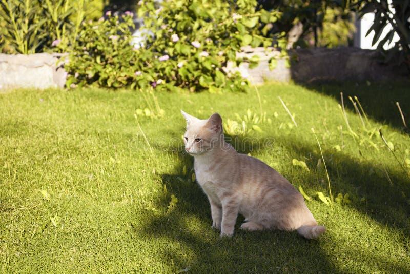 Amarelo - gato listrado do gato malhado branco imagem de stock