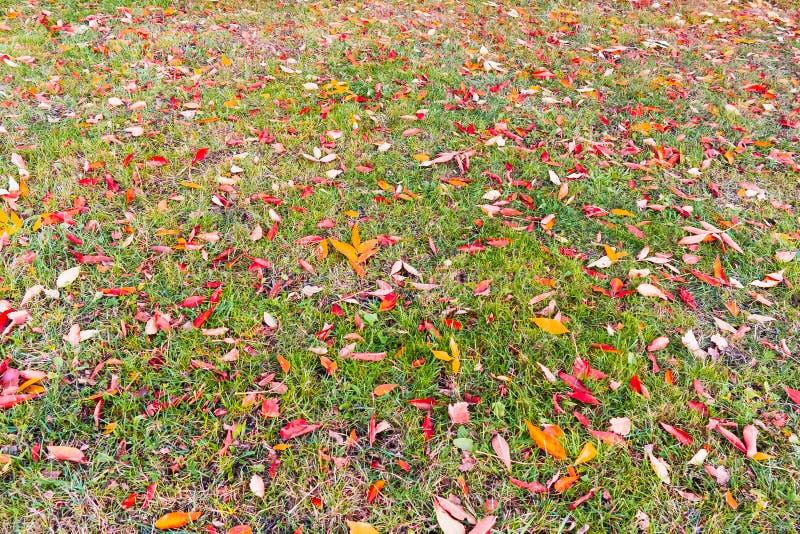 Amarelo, laranja, folhas vermelhas do bordo em um gramado verde, paisagem do outono, fundo fotografia de stock royalty free