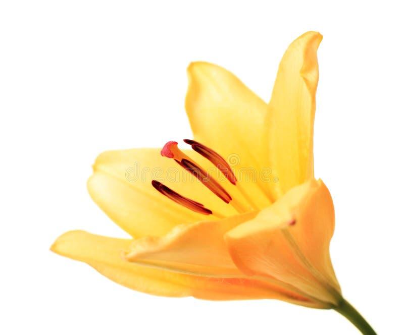 Amarelo lilly imagem de stock royalty free