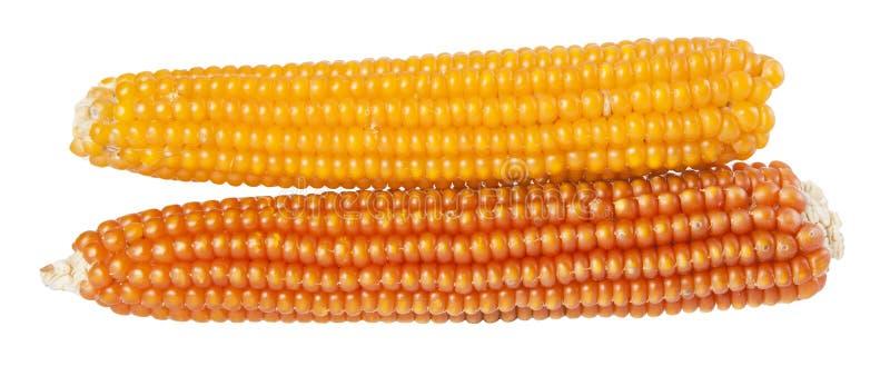Amarelo maduro do milho dois pares no branco imagem de stock royalty free