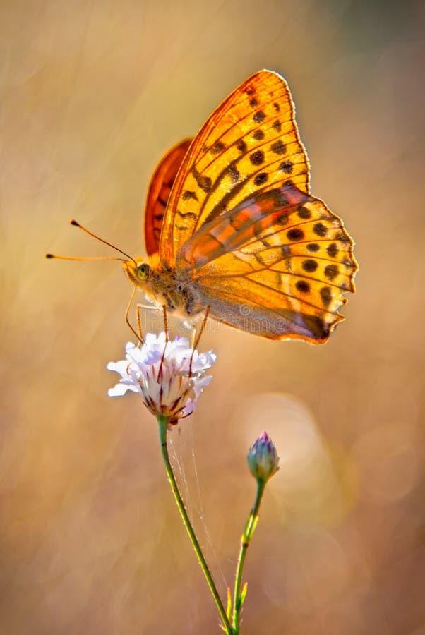 Amarelo Prata-Lavado Butterflie do fritillary imagem de stock royalty free
