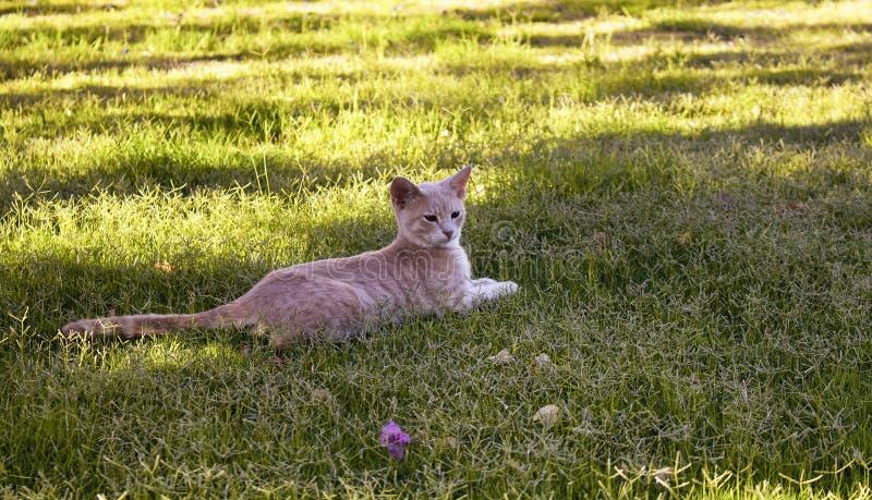 Amarelo - restos listrados do gato do gato malhado branco foto de stock royalty free