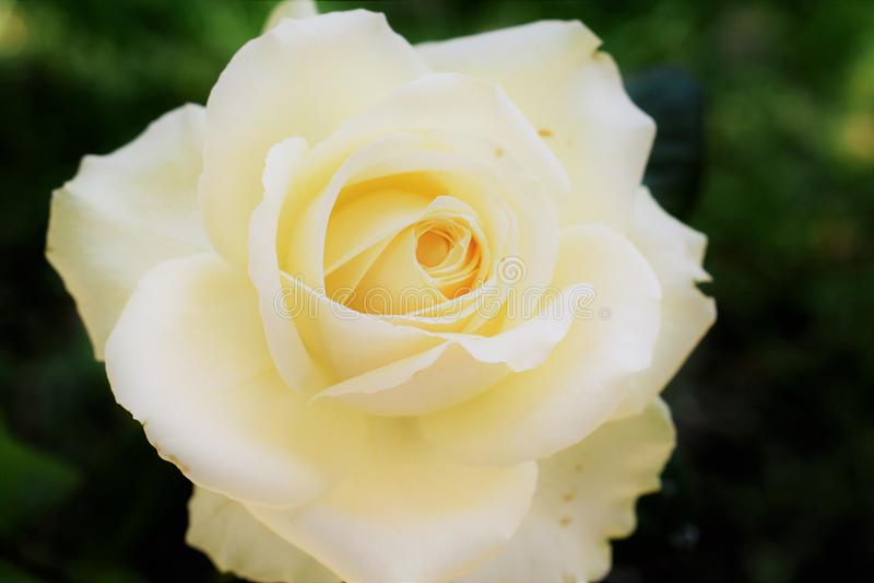Amarelo Rose Flower Blossom de Himachal nos verões imagens de stock