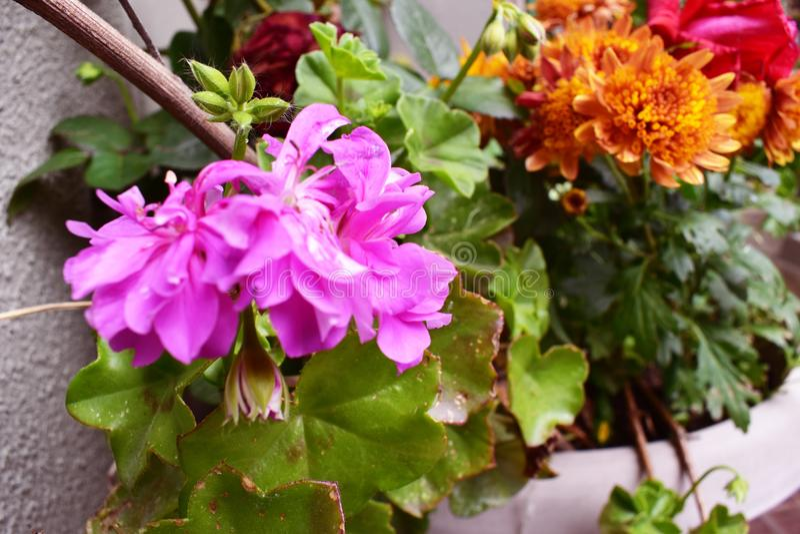 Amarelo verde roxo do close up da flor do jardim imagens de stock royalty free