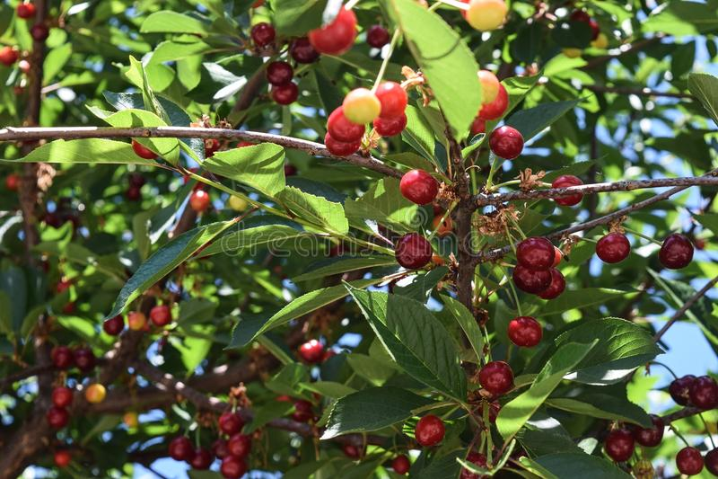 Download Amarena su un albero fotografia stock. Immagine di sviluppisi - 117980394