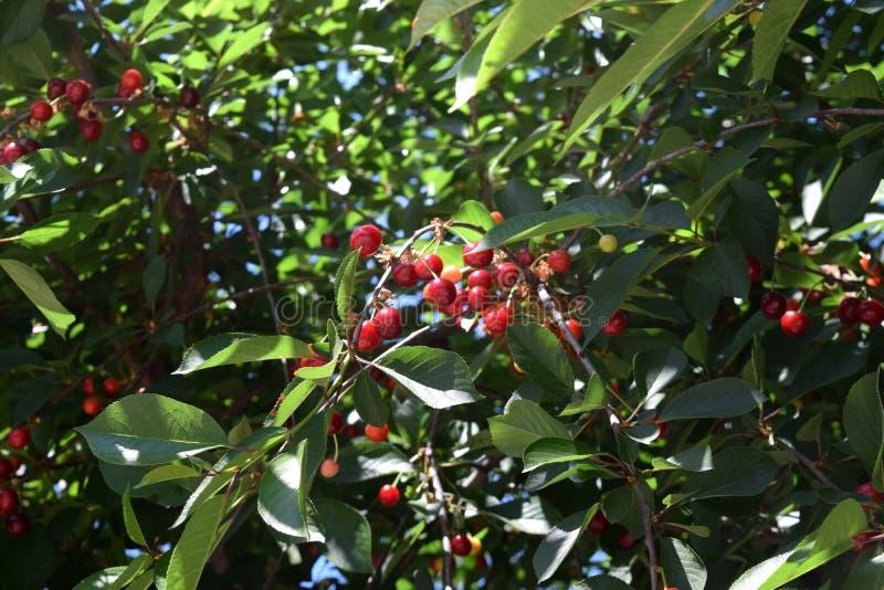 Download Amarena su un albero fotografia stock. Immagine di giardino - 117980400
