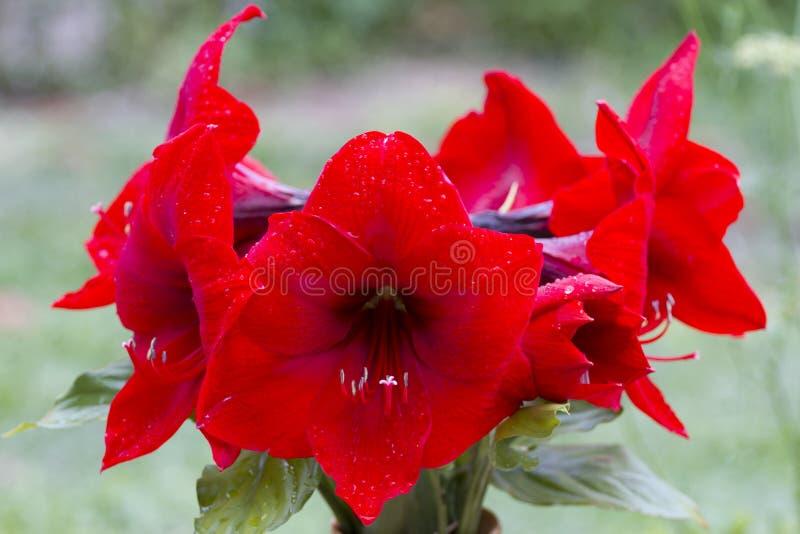 Amarilis royalty-vrije stock foto's