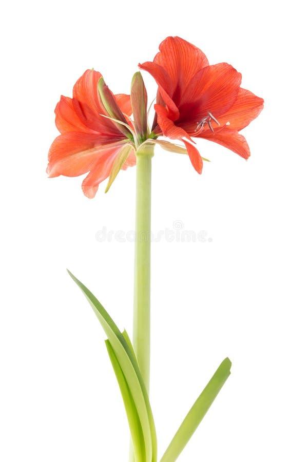 Amarilis floreciente fotografía de archivo