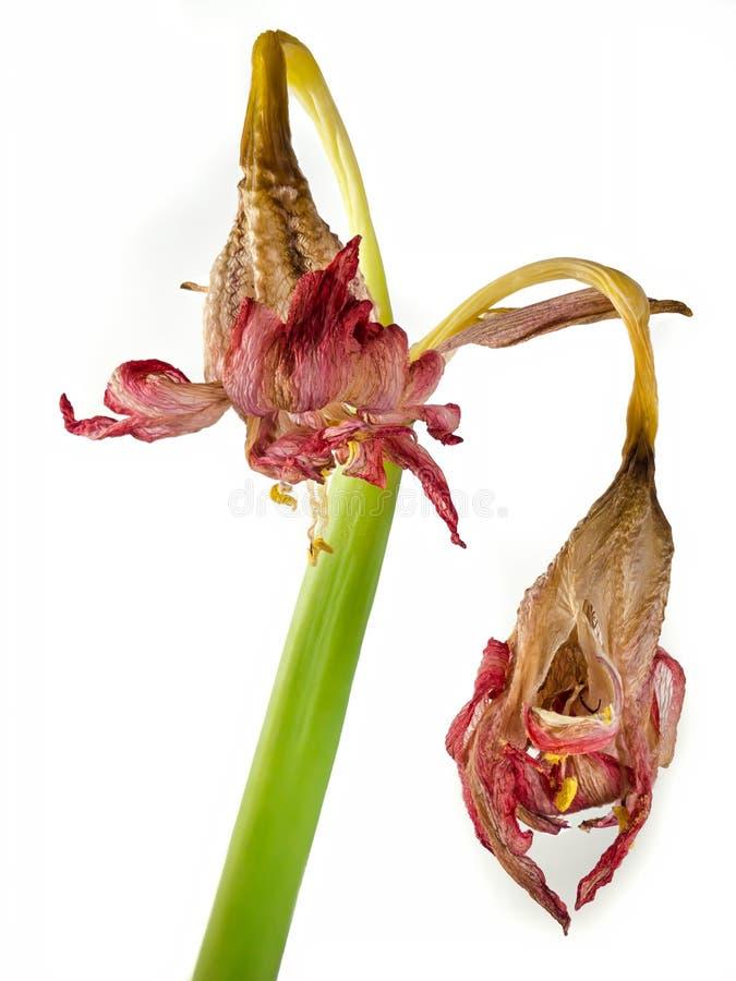 Amarilis marchitada de la flor Blanco aislado imagen de archivo libre de regalías