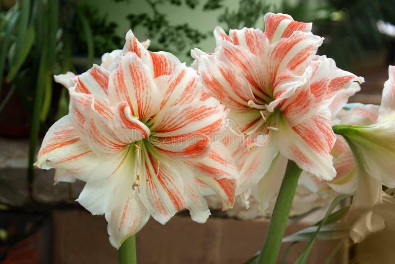Amarilis twee grote bloemen stock afbeeldingen