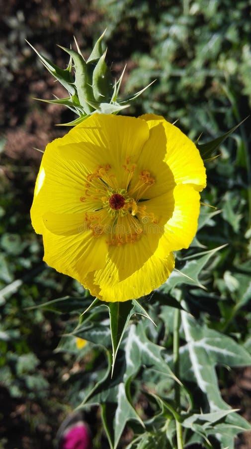 Amarilla de Flor fotografia de stock