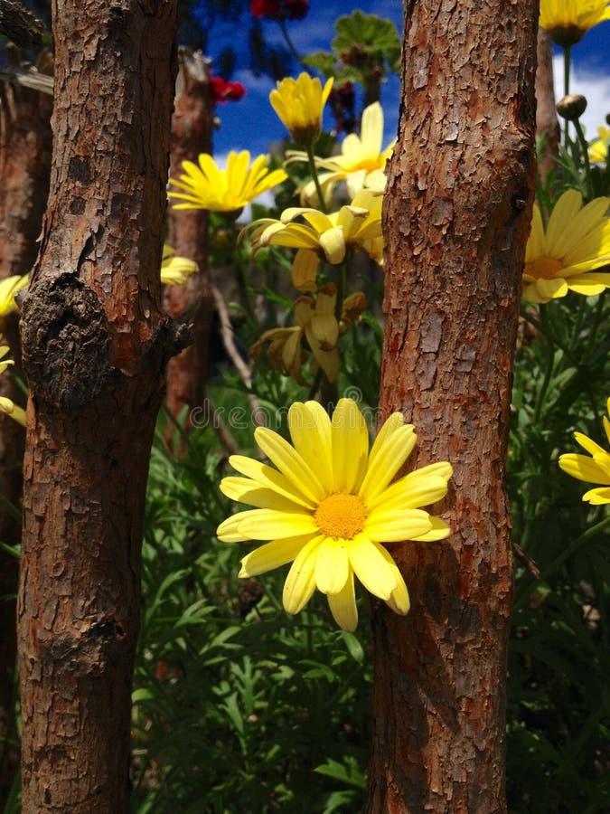Amarillas fotografia stock
