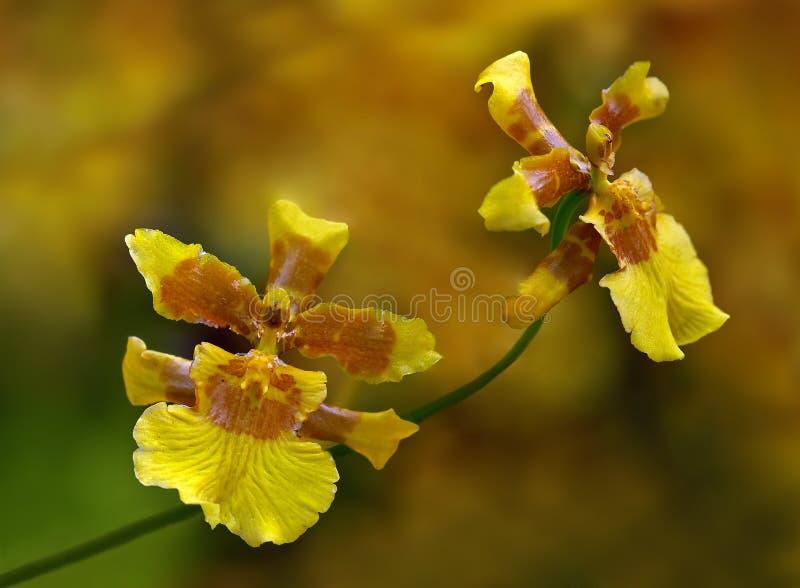 Amarillas de Pareja de flores foto de stock