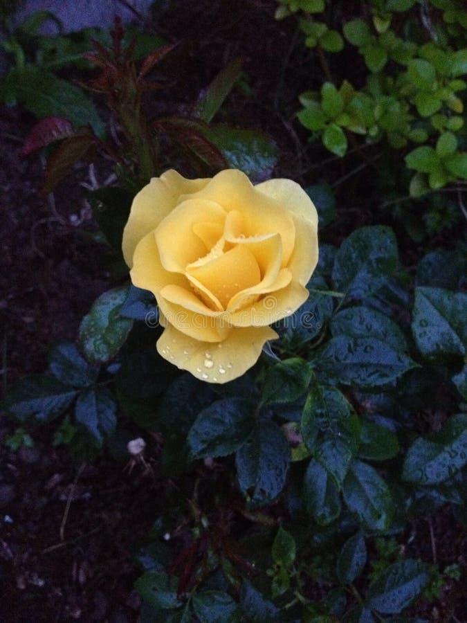 Amarillee color de rosa imagen de archivo libre de regalías