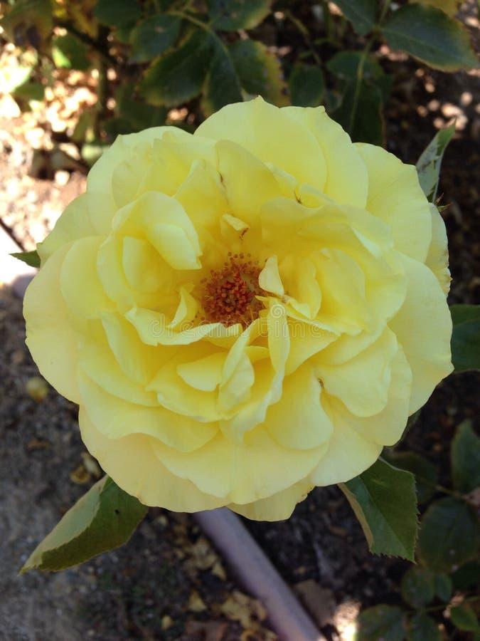 Download Amarillee color de rosa foto de archivo. Imagen de nuez - 44854856