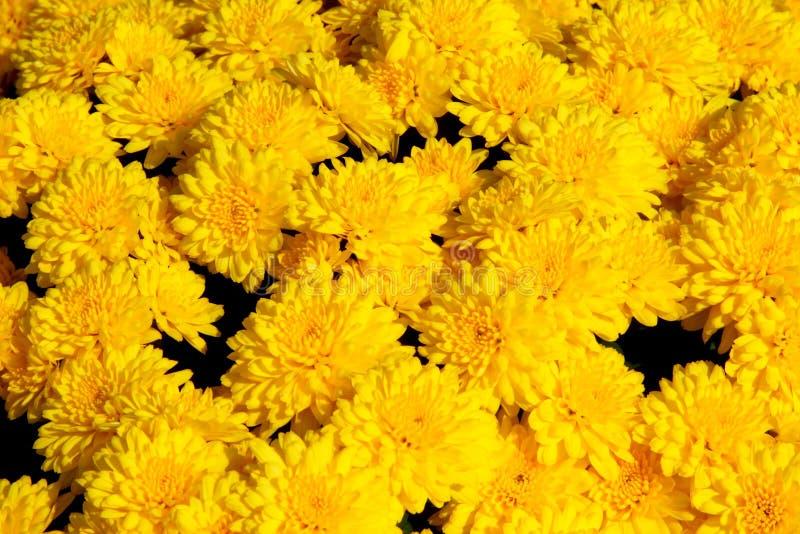 Amarillee el fondo del crisantemo imágenes de archivo libres de regalías
