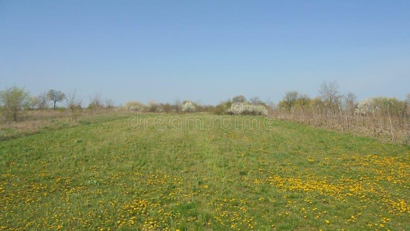 Amarillee en prado verde, debajo del cielo azul imágenes de archivo libres de regalías