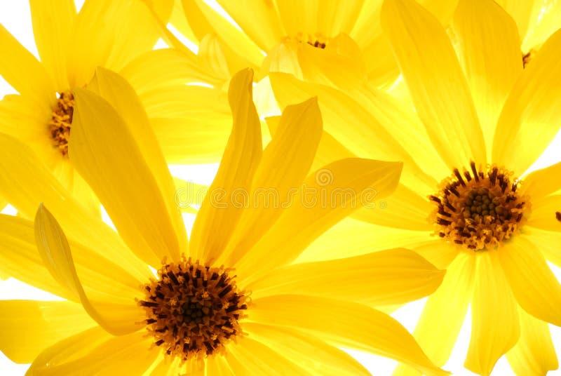 Amarillee la flor imagenes de archivo