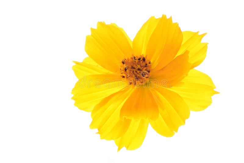 Amarillee la flor del cosmos aislada en blanco imagen de archivo