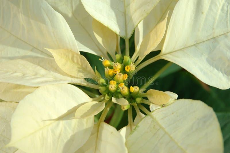 Amarillee la planta del poinsettia imagenes de archivo