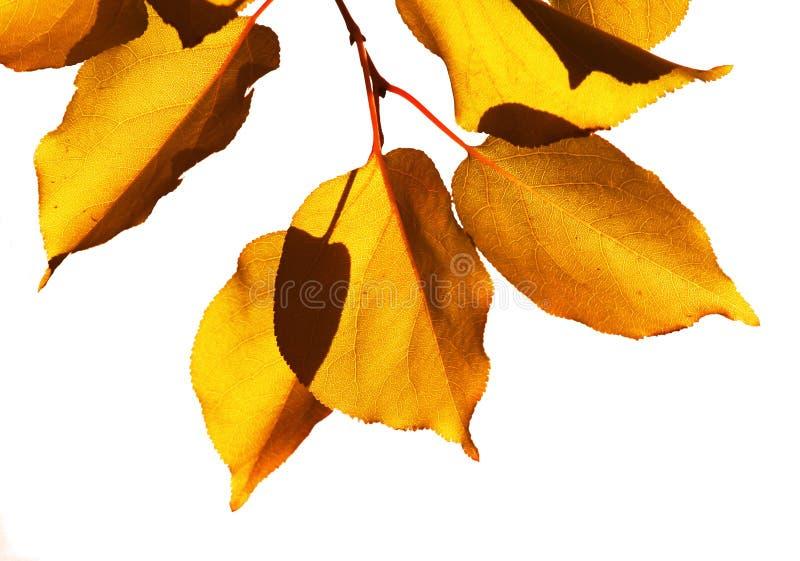Amarillee las hojas foto de archivo libre de regalías