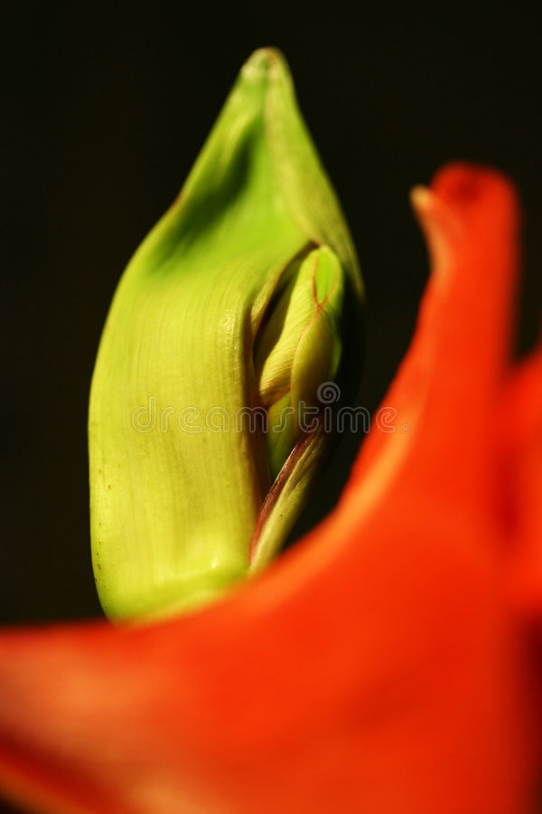 Amarillis Blume stockfotos