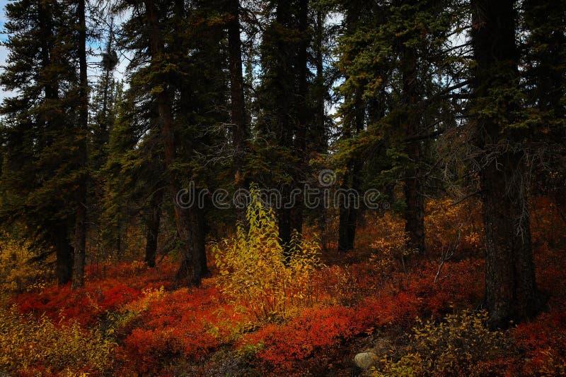 Amarillo anaranjado rojo en Denali foto de archivo libre de regalías