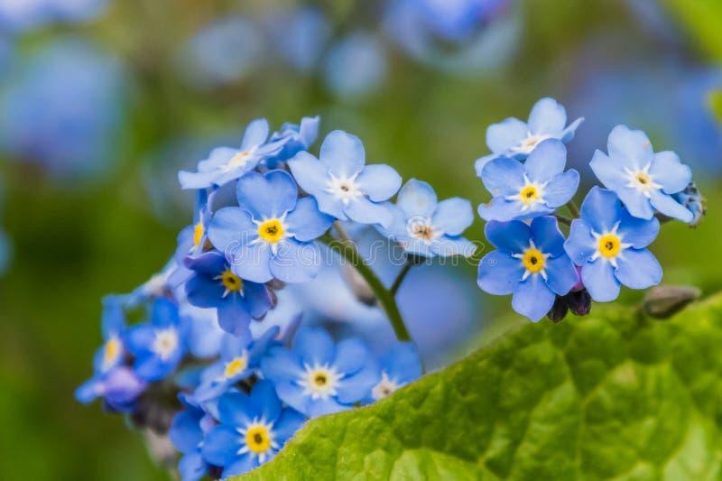 Amarillo brillante y el azul colorearon los flores que florecían en primavera imagenes de archivo