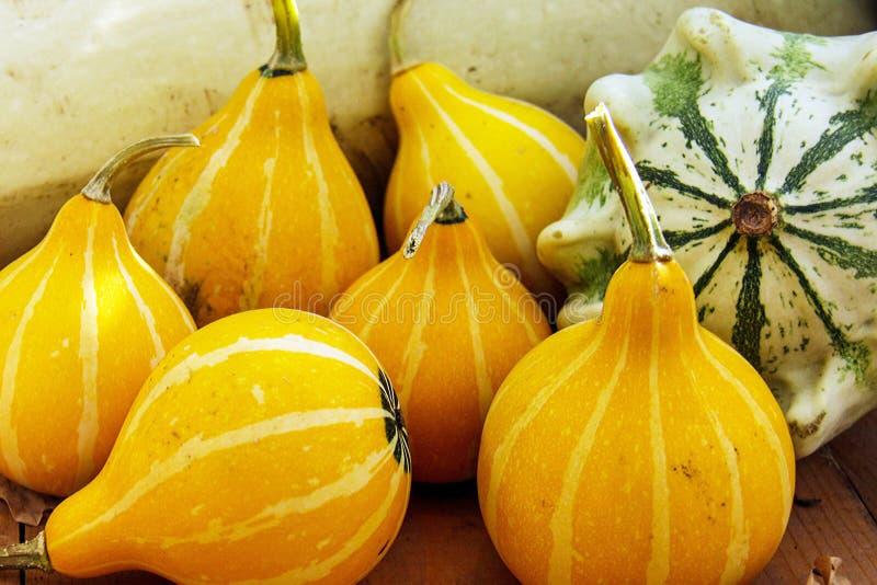 Amarillo, calabazas de otoño rayadas y pocas anaranjadas verdes Kleine decorativo bicolor y patisson en fondo de madera fotografía de archivo
