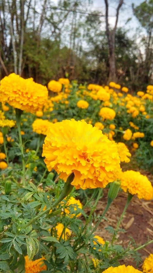 Amarillo de la flor fotografía de archivo libre de regalías