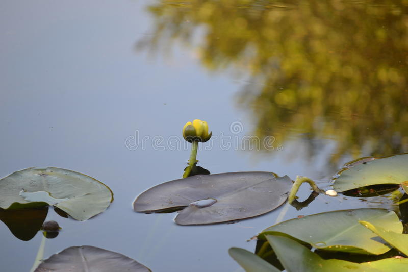 Amarillo de la floración del lirio de agua de los marismas fotografía de archivo libre de regalías