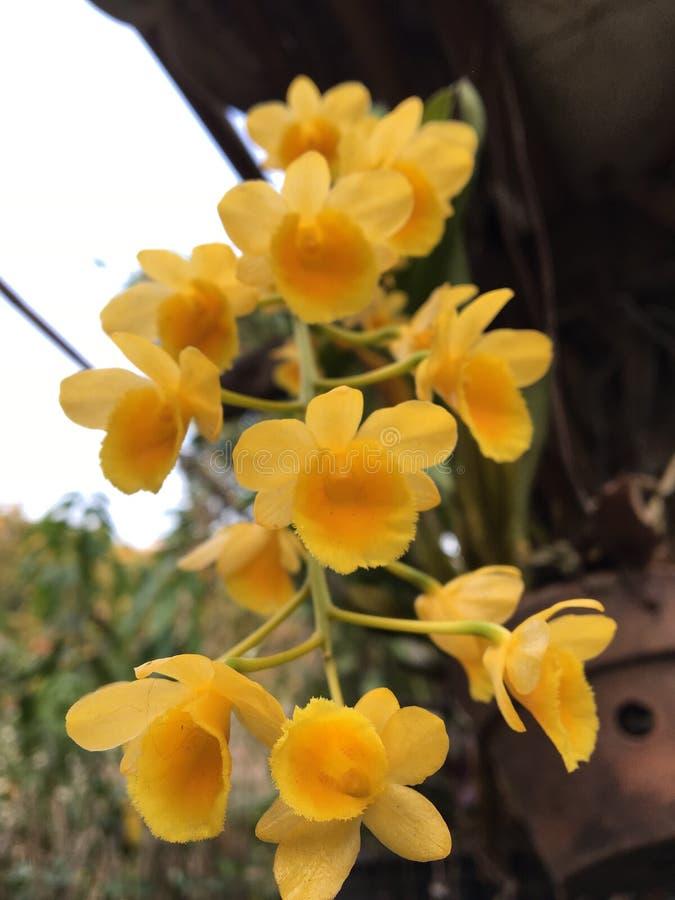Amarillo de la orquídea foto de archivo libre de regalías
