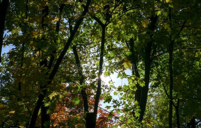 Amarillo 6 del cielo azul de las hojas de arce del otoño imagen de archivo
