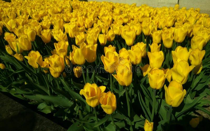 Amarillo del tulipán fotografía de archivo libre de regalías