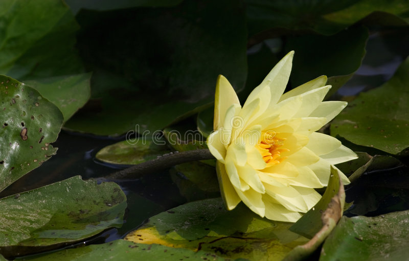 Amarillo delicado waterlily fotos de archivo