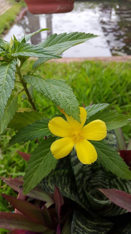 Amarillo, flor, natural, sola imagen de archivo libre de regalías